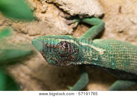 Knight Anole