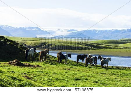The Iceland Horse, Or Even Icelanders Icelandic Horse Called, Is