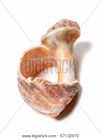 Broken Rapana Shell Isolated On White Background
