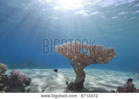 Wide angle view of a single Table Coral (Acropora pharaonis) on the sandy ocean floor with blue background and sunbeams. Ras Mohammed National Park Red Sea Egypt. poster
