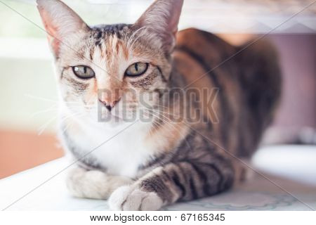 Siamese Cat Looking At Camera