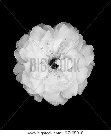 B&W Cherry Blossom