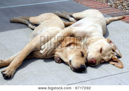 """Shot of two Yellow Labradors """"spooning"""" - sound asleep on the patio. poster"""