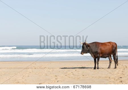 Nguni Cow At The Seaside