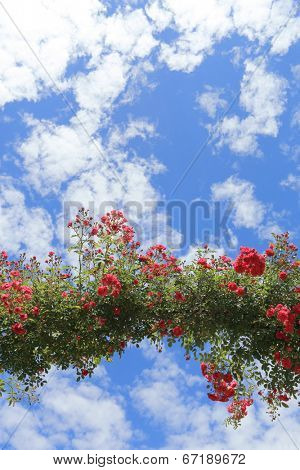 Rose Arch In the Garden and Blue Sky
