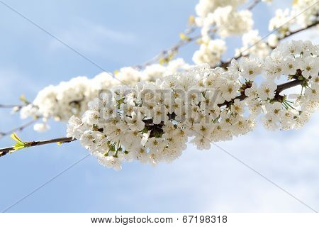 White flowers on a tree with blue sky in the background