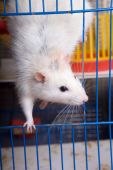 The white rat looks out of a cage poster