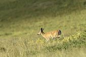 A white tail deer running along the side of a hill at the National Elk and Bison Range in Montana. poster