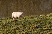 Single woolly sheep looking in orange sunlight standing alone in a field poster