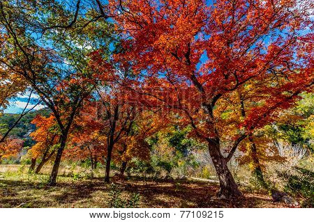 Beautiful Fiery Forest of Lost Maples State Park, Texas