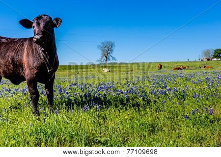 Texas Cattle with Bluebonnets in Cow Pasture