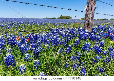 A Wide Angle View Of A Beautiful Field Blanketed With The Famous Texas Bluebonnet (lupinus Texensis)
