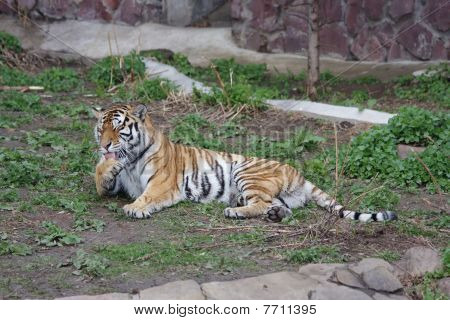 poster of Amur tiger in the Moscow Zoo, Russia