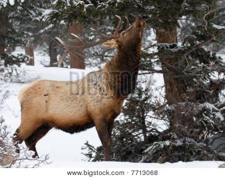 Elk Sniffing Pine