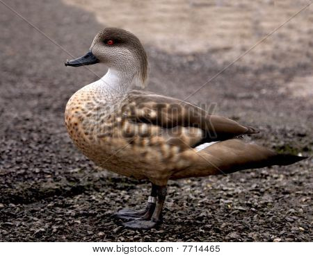 Crested duck (Lophonetta specularioides) posing for the camera. poster