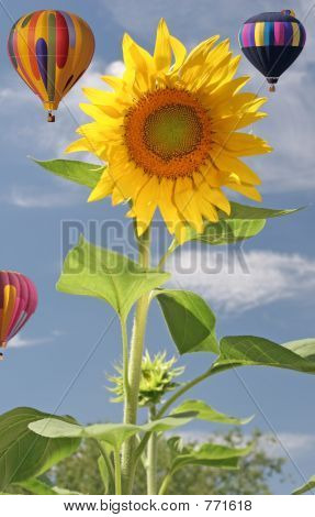 Sunflower with three balloons