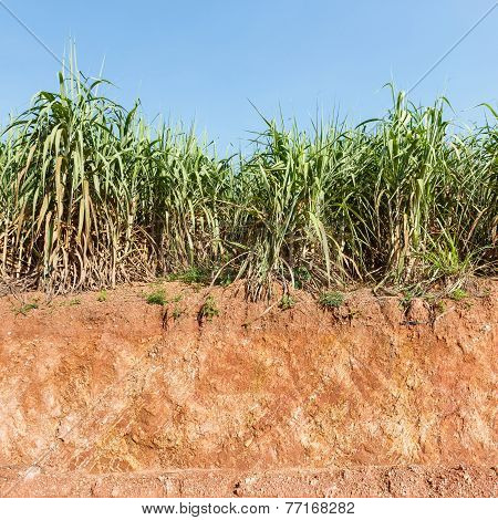Close up red color lateritic soil cross section and sugar cane plantation poster