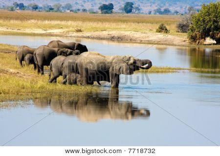 Elephants in Chobe, Botswana