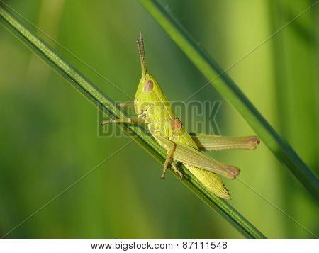 Small gold grasshopper (Euthystira brachyptera)