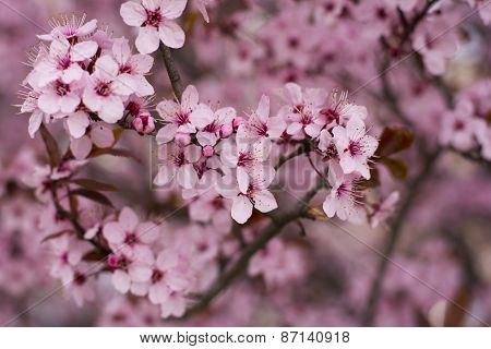 Cherry Tree In Full Blossom In Spring Time