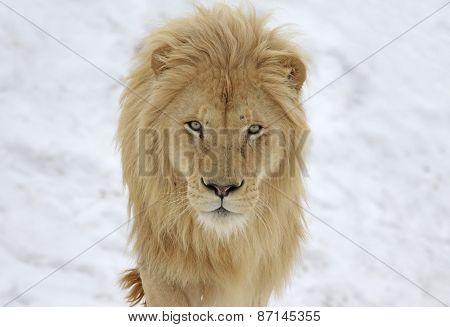 White Lion Stare