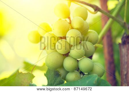 Bunch of grapes on grapevine growing in vineyard. Yellow grapes with green leaves on the vine. Soft focus