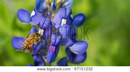 Bee pollinating Texas bluebonnet wildflower in the spring poster