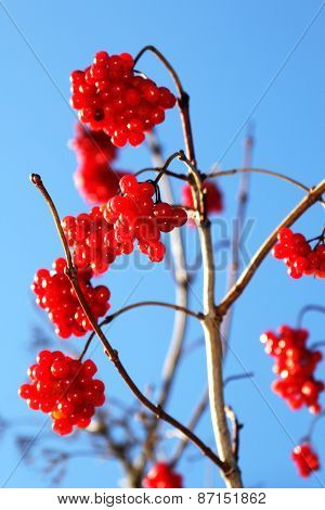 Viburnum red ripe