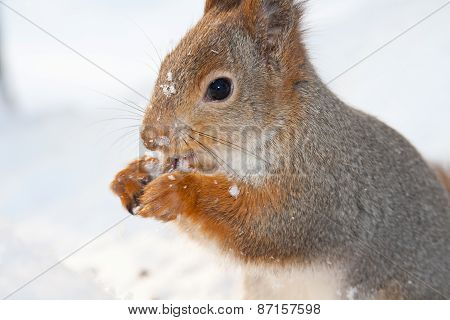 red squirrel closeup