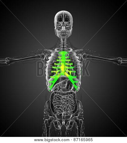 3D Render Medical Illustration Of The Sternum And Cartilage