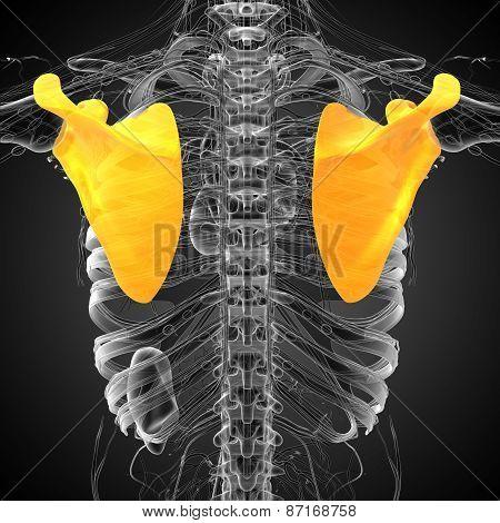 3D Render Medical Illustration Of The Human Scapula Bone