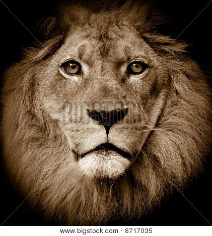 Dramatic lion portrait