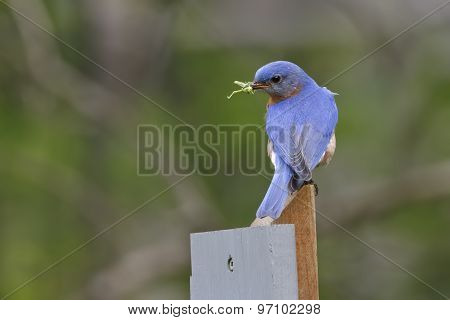 Male Eastern Bluebird With A Grasshopper In Its Beak
