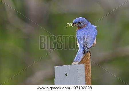 Male Eastern Bluebird With A Grasshopper In Its Beak