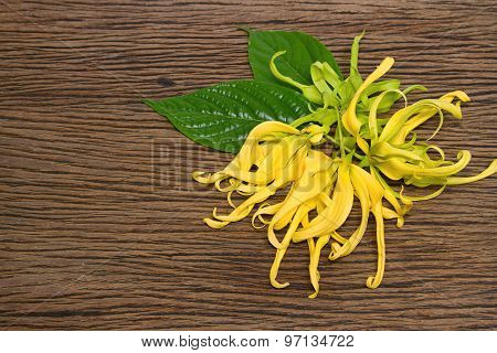 Dwarf Ylang-ylang Flower Blooming
