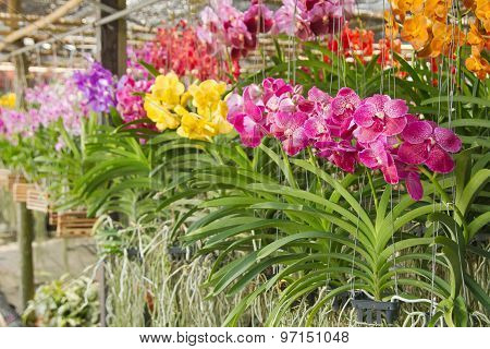 Orchid Farm, Orchid Flower In Plant Market Thailand