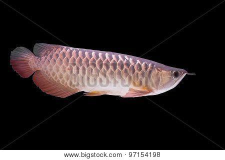 closeup arowana fish,  Dragonfish on black background