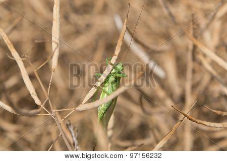 Grashopper in a colza field