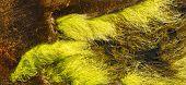 Ulva intestinalis algae grow on a sea level rocks archipelago of Finnish bay poster