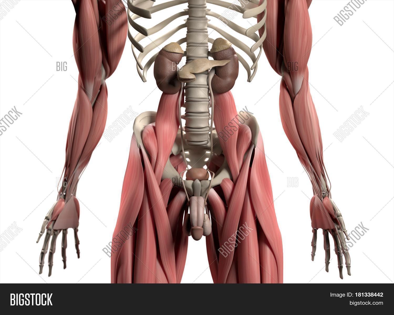 Kidneys Reproductive Image & Photo (Free Trial) | Bigstock