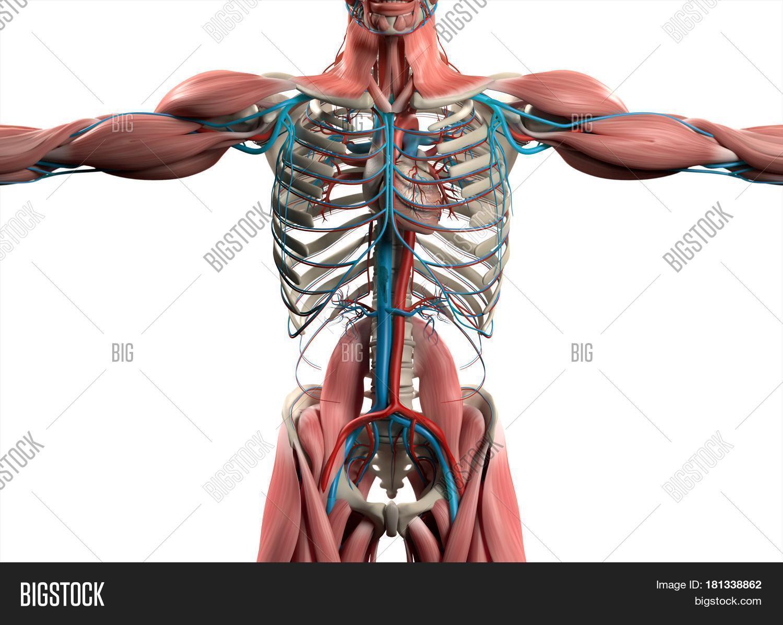Heart Vascular System Image & Photo (Free Trial) | Bigstock