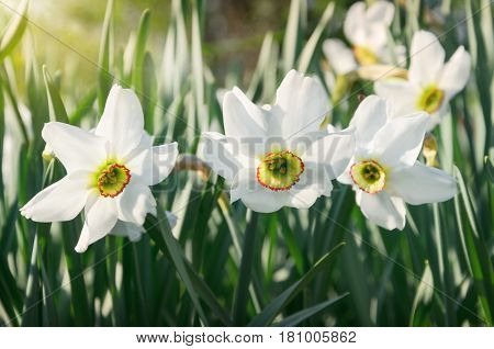 White narcissus growing in the garden. Narcissus poeticus. Soft selective focus and shallow depth of field