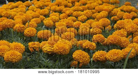 Marigolds (Latin Tagetes) are flowers that differ in a variety of species and varieties among them there are both annual and perennial varieties