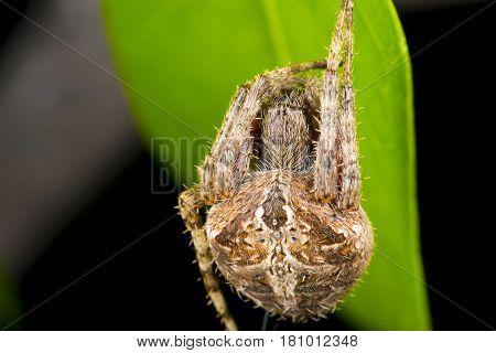 Neoscona Rufofemorata Is A Species Within The Kingdom Animalia, Family Araneidae. English Vernacular