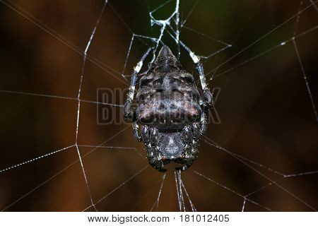 Parawixia Dehaani, Known In Australia As The Abandoned-web Orb-weaver, Is A Species Of Orb Weaver Sp