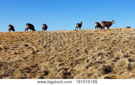Herd of chamois in a mountain Tatras
