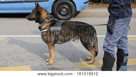 trained police dog during surveillance along the streets of the city