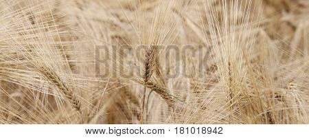 yellow wheat ears in the field cultivated in summer