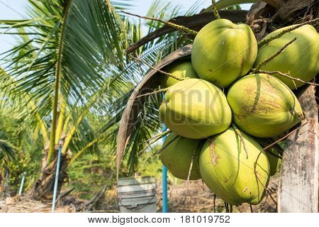 Close up coconuts on tree in gardenCoconut plantation.