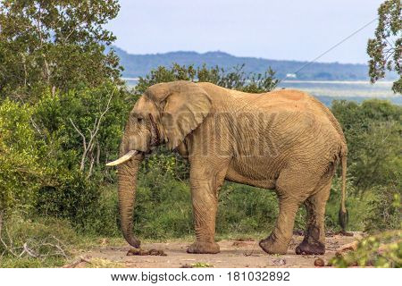 African bush elephant (loxodonta africana) in Marakele national park